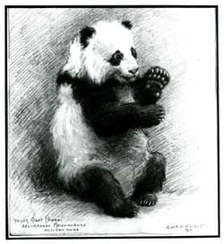Charles R. Knight, famous wildlife artist and painter, was the first to paint the first Giant Panda in America